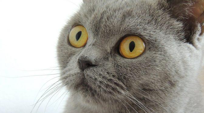 Mère, mettez le chat à cuire !